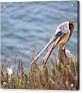 The Pelican  Acrylic Print
