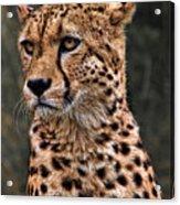 The Pensive Cheetah Acrylic Print