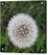 The Perfect Dandelion Acrylic Print