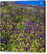 The Phacelia Patch Acrylic Print