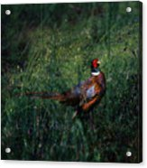 The Pheasant In The Autumn Colors Acrylic Print
