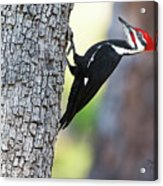 The Pileated Acrylic Print