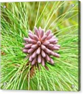 The Pinecones Acrylic Print