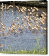 The Plovers Acrylic Print