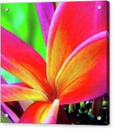 The Plumeria Flower Acrylic Print