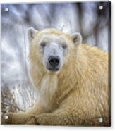 The Polar Bear Stare Acrylic Print