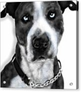 The Pooch With Blue Eyes Acrylic Print