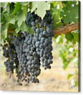 The Promise Of New Wine Acrylic Print