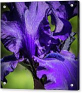 The Purple Show Acrylic Print