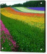The Rainbow Of Flower At Hokkaido Acrylic Print