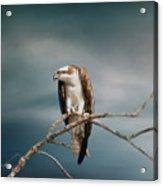The Raptor - Osprey Acrylic Print