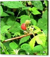 The Rasberry Patch Acrylic Print