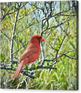 The Red Cardinal Acrylic Print