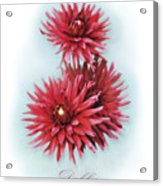 The Red Dahlia Acrylic Print
