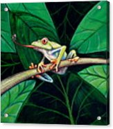 The Red Eyed Tree Frog Acrylic Print