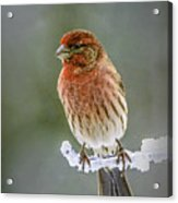 The Red Finch Acrylic Print