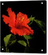 The Red Hibiscus Acrylic Print