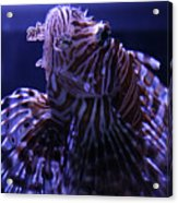 The Red Lionfish Acrylic Print