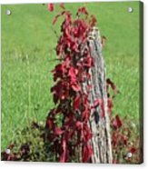 The Red Vine - Photograph Acrylic Print