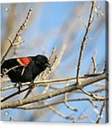 The Red Wing Acrylic Print