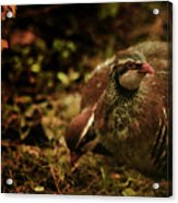 The Redlegged Partridges Acrylic Print