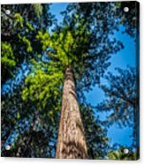 the Redwoods of Muir Woods Acrylic Print