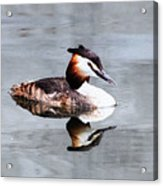 The Reflection Of A Grebe Acrylic Print