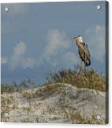 The Regal Great Blue Heron Acrylic Print