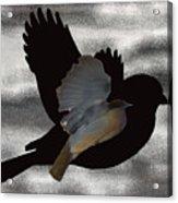 The Robin Flight  Acrylic Print