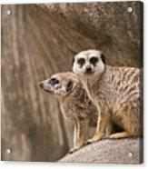 The Rock Of Meerkats Acrylic Print