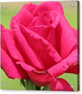 The Rose Acrylic Print