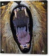 The Royal Yawn Acrylic Print