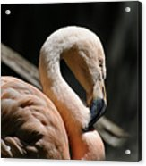 The Sacred Old Flamingoes Acrylic Print
