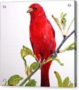 The Scarlett Tanager  Acrylic Print
