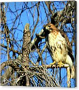 The Search Red Tail Hawk Art Acrylic Print