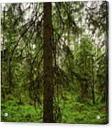 The Shadow Of The Spruce Acrylic Print