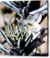 The Shy Desert Lily Acrylic Print