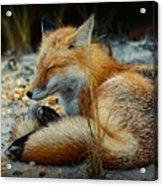 The Sleepy Fox Acrylic Print