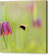The Snake's Head And The Bumblebee - Fritillaria Meleagris Acrylic Print