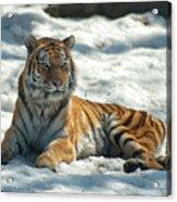 The Snowy Lion Acrylic Print