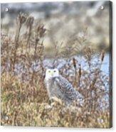 The Snowy Owl Acrylic Print