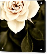 The Softest Rose Acrylic Print