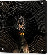 The Spider  And The Fly Acrylic Print by Wingsdomain Art and Photography