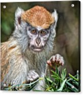 The Stare A Baby Patas Monkey  Acrylic Print