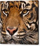 The Sumatran Tiger Cat Acrylic Print