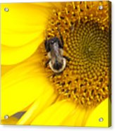 The Sun And The Bee Acrylic Print