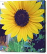 The Sunflower Acrylic Print