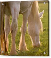 The Sunlight Caught In The Horse Tail Acrylic Print