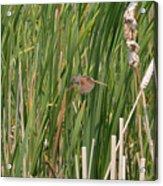 The Swamp Sparrow In-flight Acrylic Print