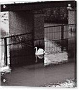 The Swan Story Acrylic Print